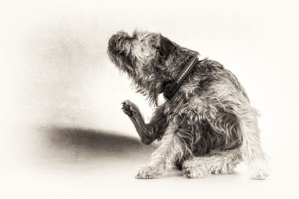 Weitere bei Border Terriern mit PGSD beschriebene Symptome entsprechen denen einer Atopie, wie zum Beispiel häufiger Juckreiz an Haut und Ohren.