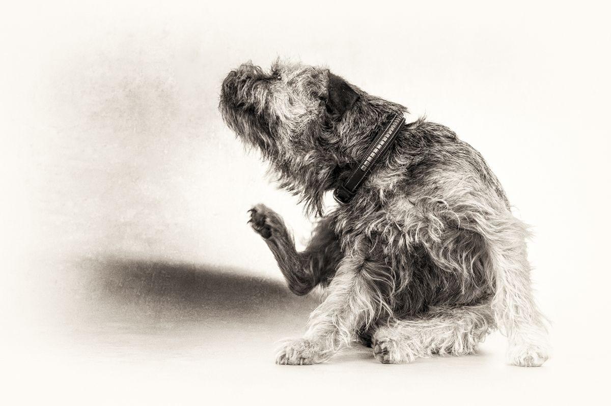 Altri segni segnalati sporadicamente nei Border terrier con discinesia parossistica sensibile al glutine sono quelli suggestivi dell'atopia, come ad esempio prurito cutaneo e auricolare frequente.