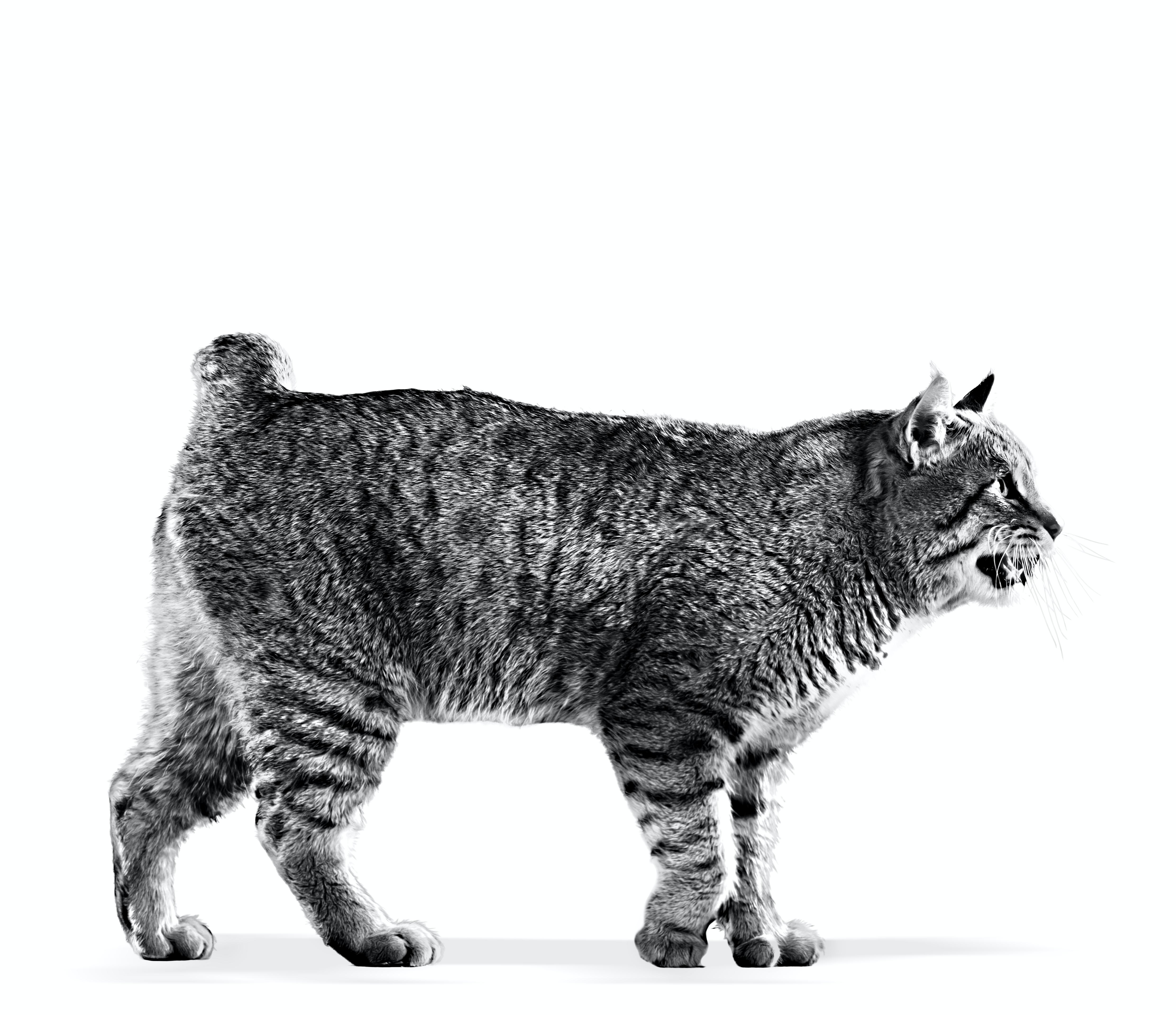 Pixiebob - Royal Canin