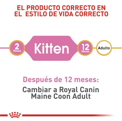 MAINE COON KITTEN COLOMBIA 3