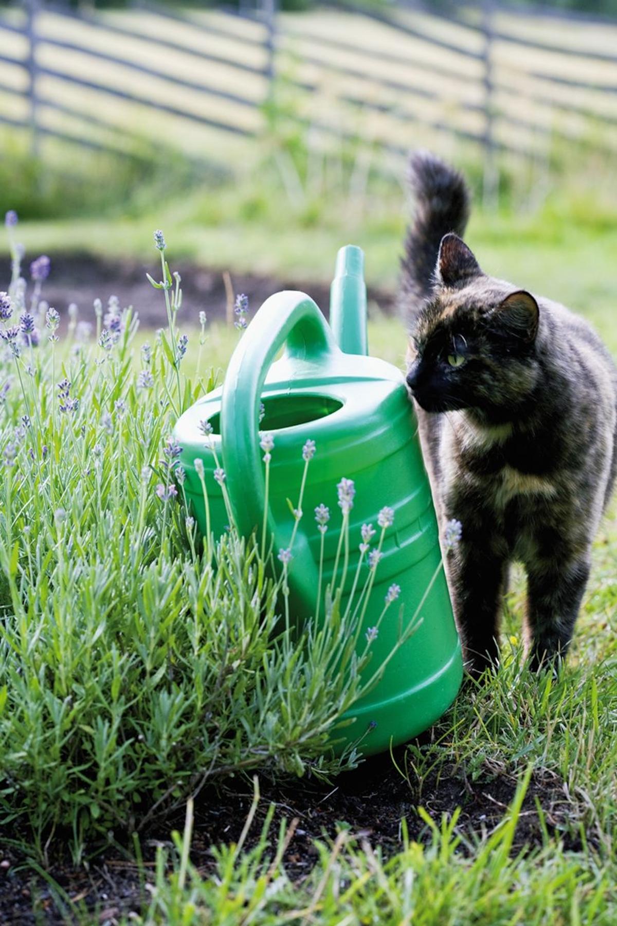 Katzen können versucht sein, aus Gefäßen im Freien zu trinken, wie z. B. Gießkannen. Besitzer müssen sicherstellen, dass diese keine toxischen Substanzen enthalten.