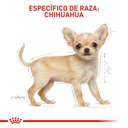 5 CHIHUAHUA PUPPY COLOMBIA
