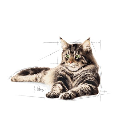 MAINE COON-AD-ILLUSTR16-FBNW