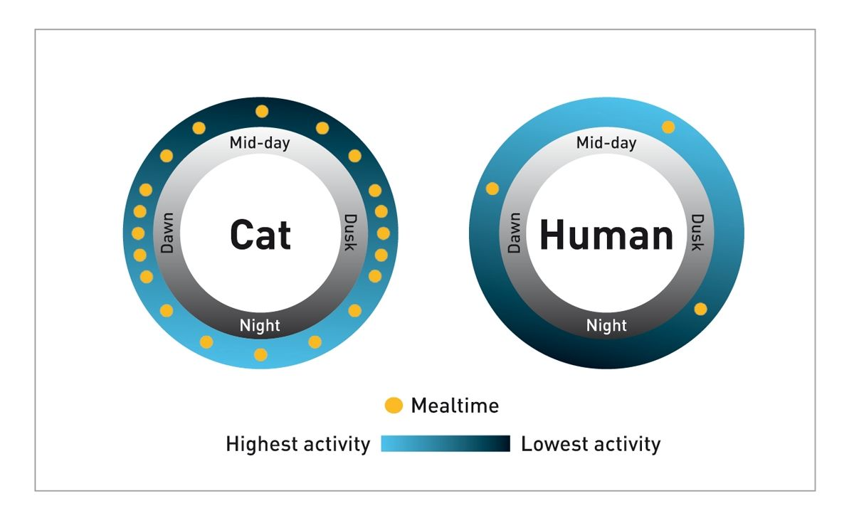 The activity and feeding patterns of cats and humans differ significantly, as shown in this diagram.
