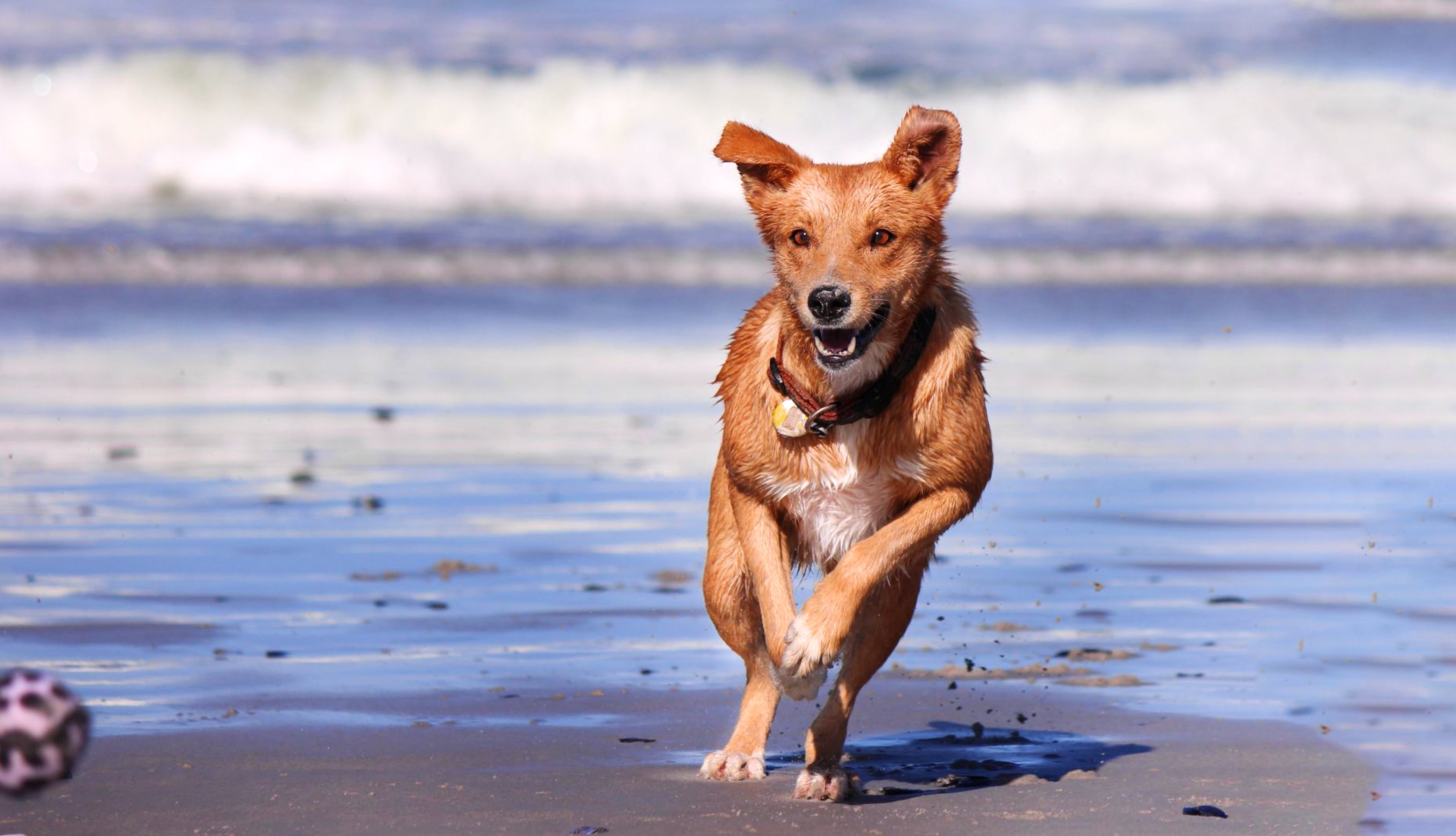 Light brown dog running on the beach
