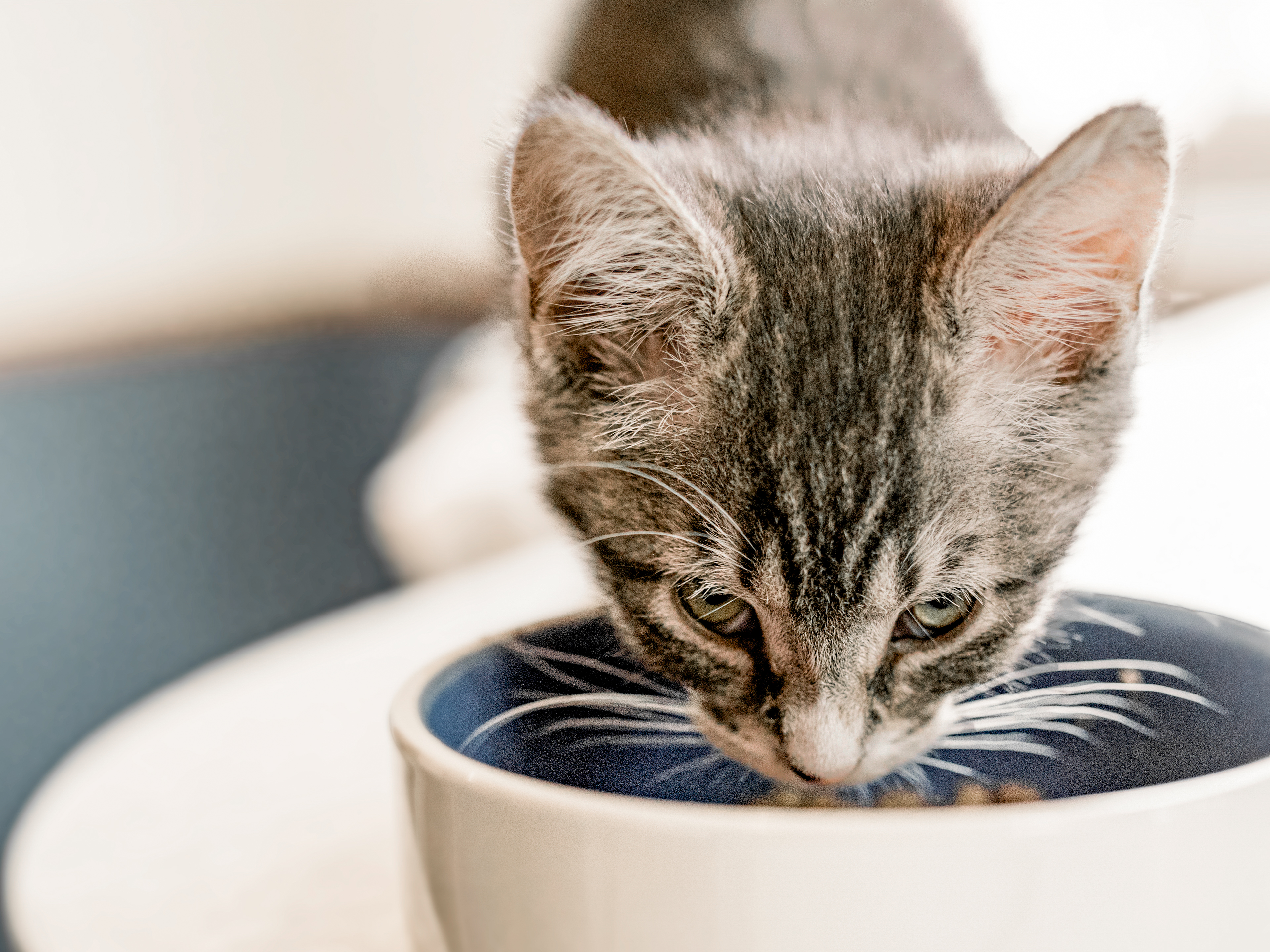 Grey kitten eating from a ceramic food bowl