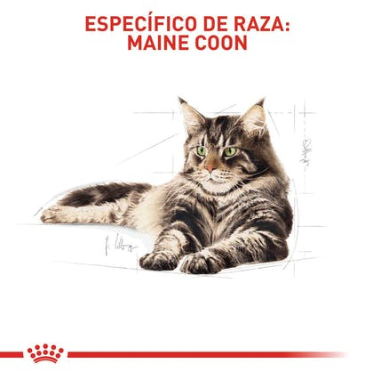 MAINE COON ADULT COLOMBIA 4