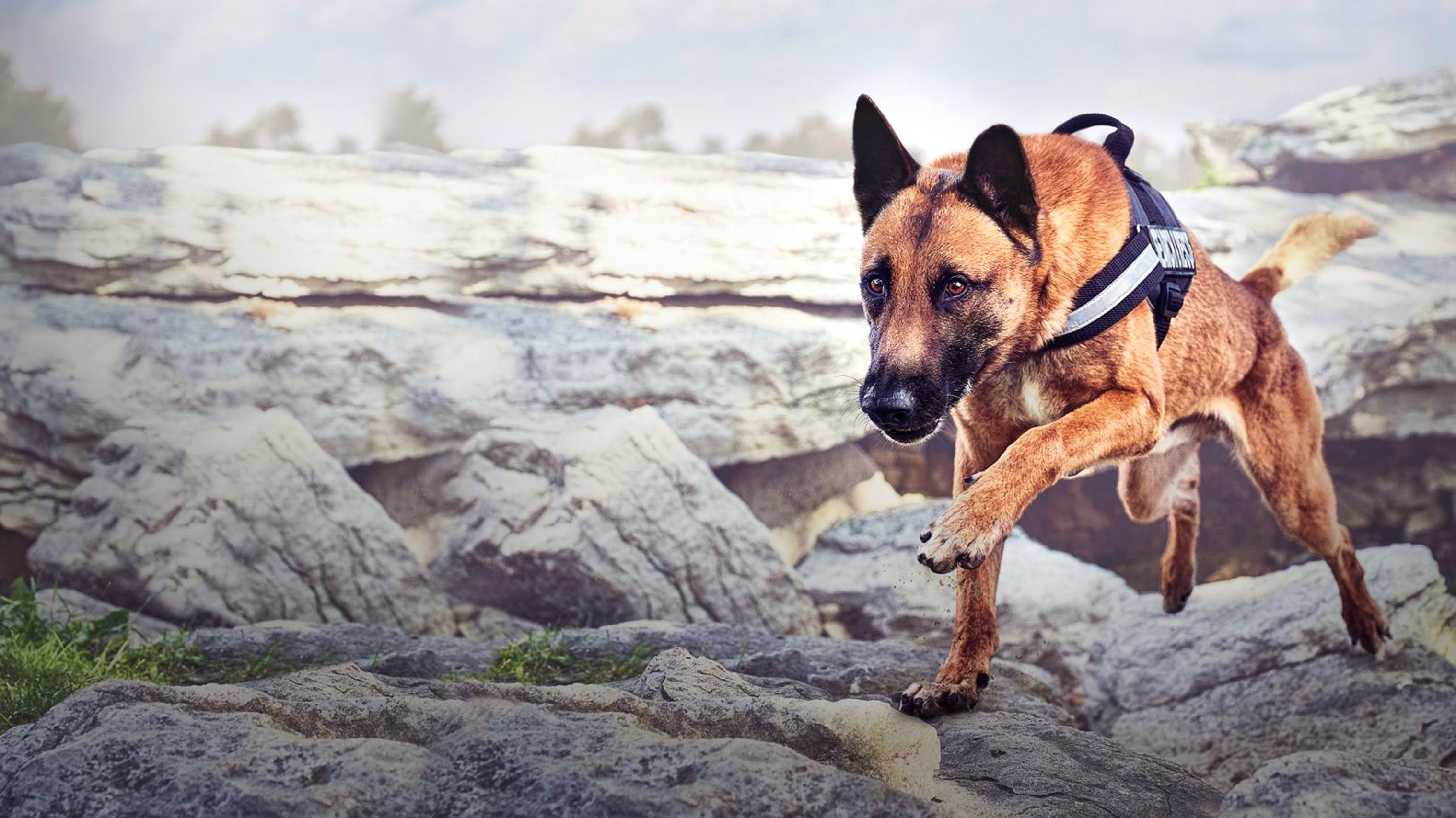 Malinois Service dog climbing over rocks