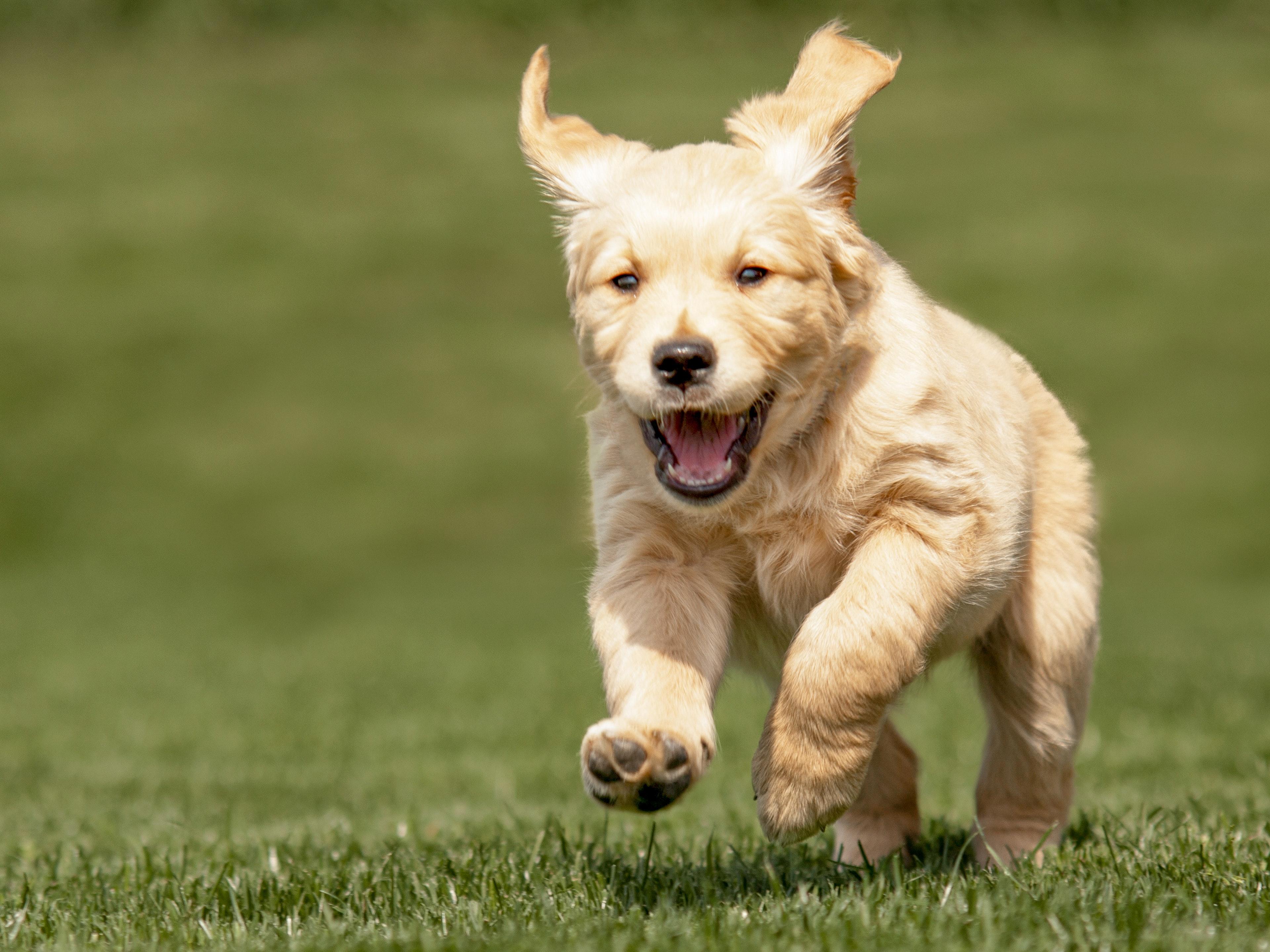Golden Retriever puppy running outdoors in the grass