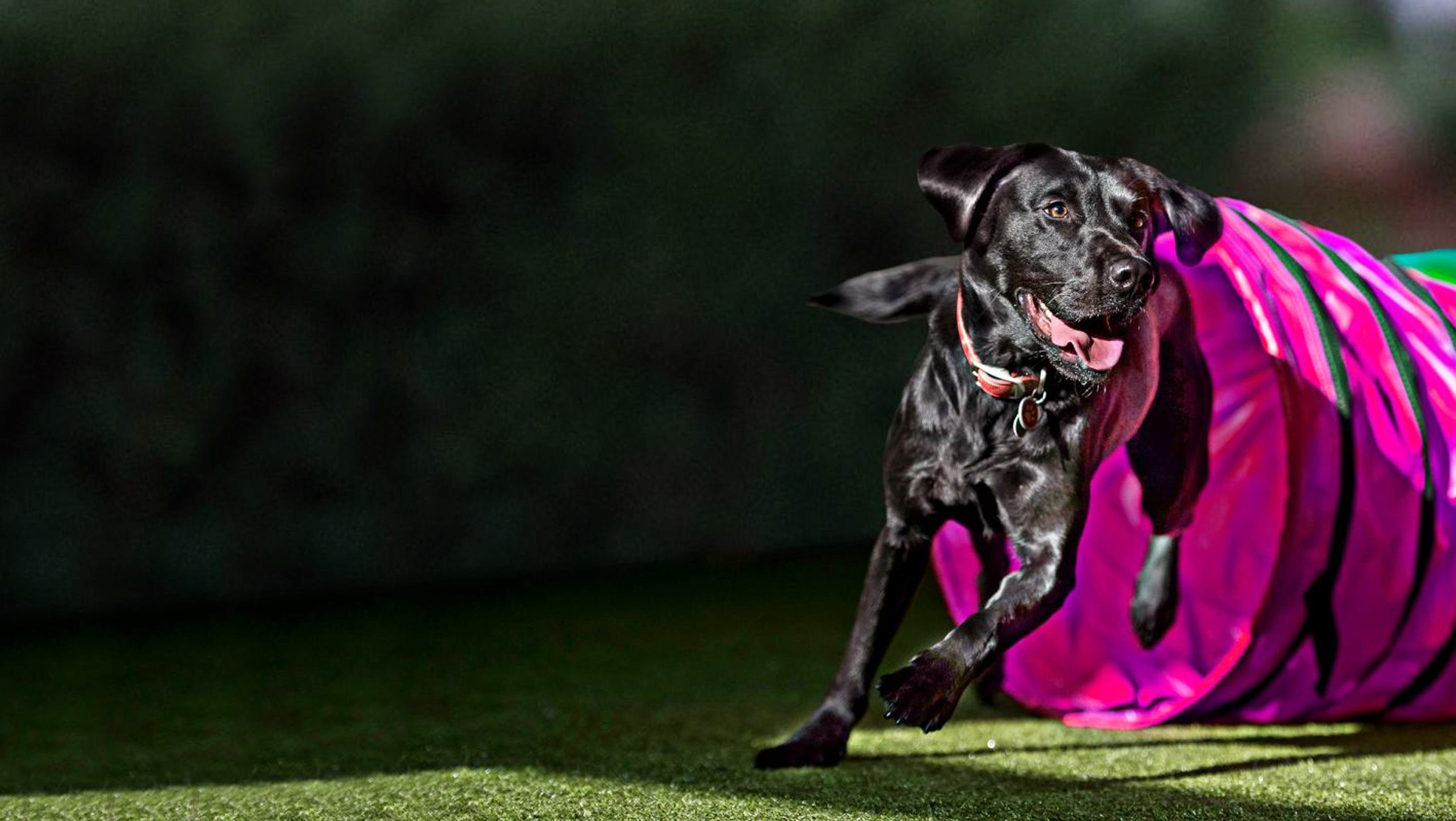 Black Labrador going out of a pink agility tunnel