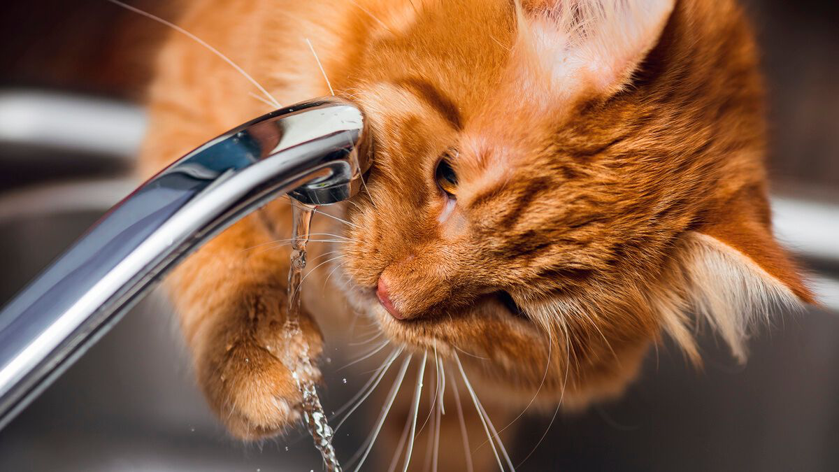 The water requirements and drinking habits of cats