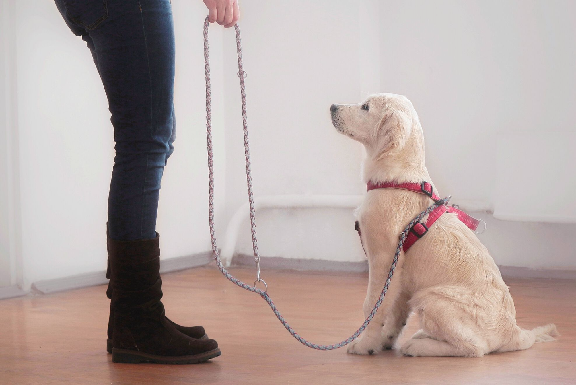 A young puppy starting on its basic training; exposure to novel environments, people and objects is critical for puppies in their first 13 weeks of life.