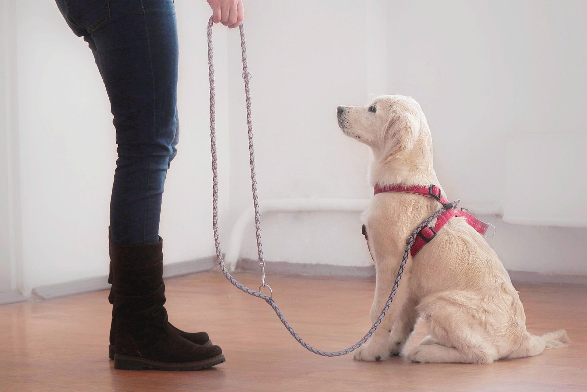 Giovane cucciolo che inizia l'educazione di base; l'esposizione ad ambienti, persone e oggetti nuovi è fondamentale per i cuccioli nelle prime 13 settimane di vita.