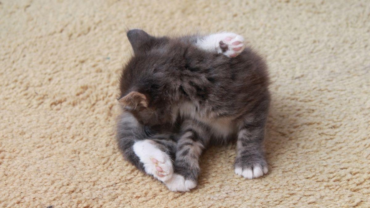 Tritrichomonas foetus bei jungen Katzen