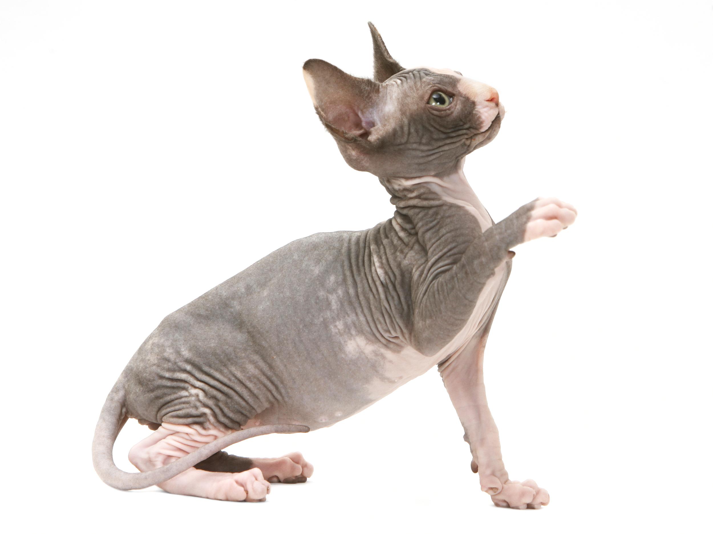 Sphynx - Royal Canin