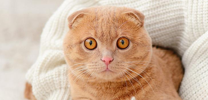 здоровье шотландских вислоухих котов
