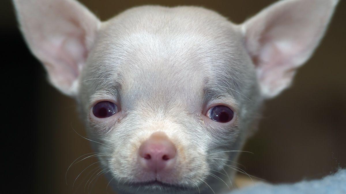 Canine hydrocephalus
