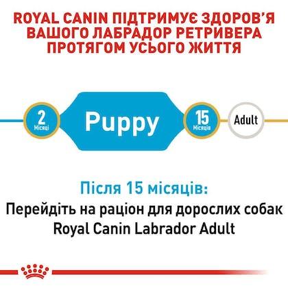 RC-BHN-PuppyLabradorRetriever_2-UA.jpg