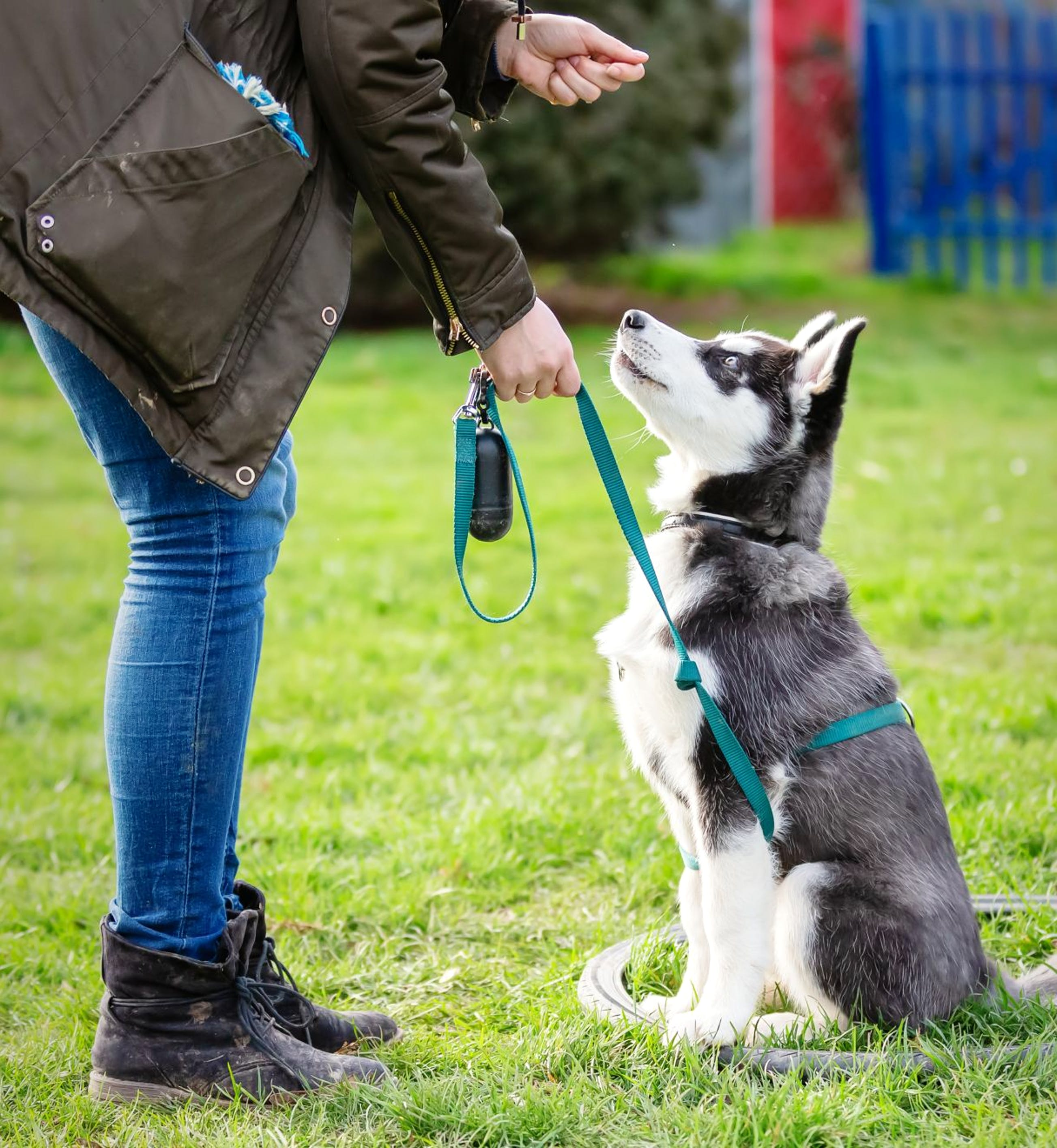 Young Alaskan Malamute learning  tricks with its owner