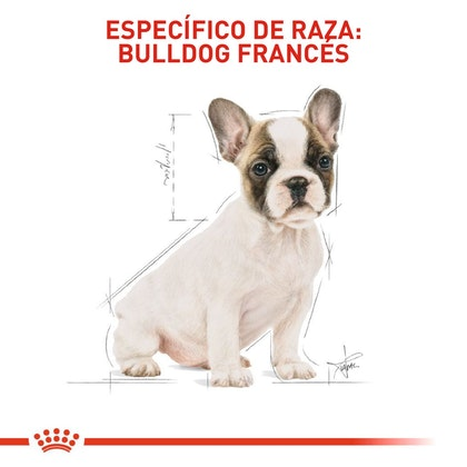 FRENCH BULLDOG PUPPY COLOMBIA 5