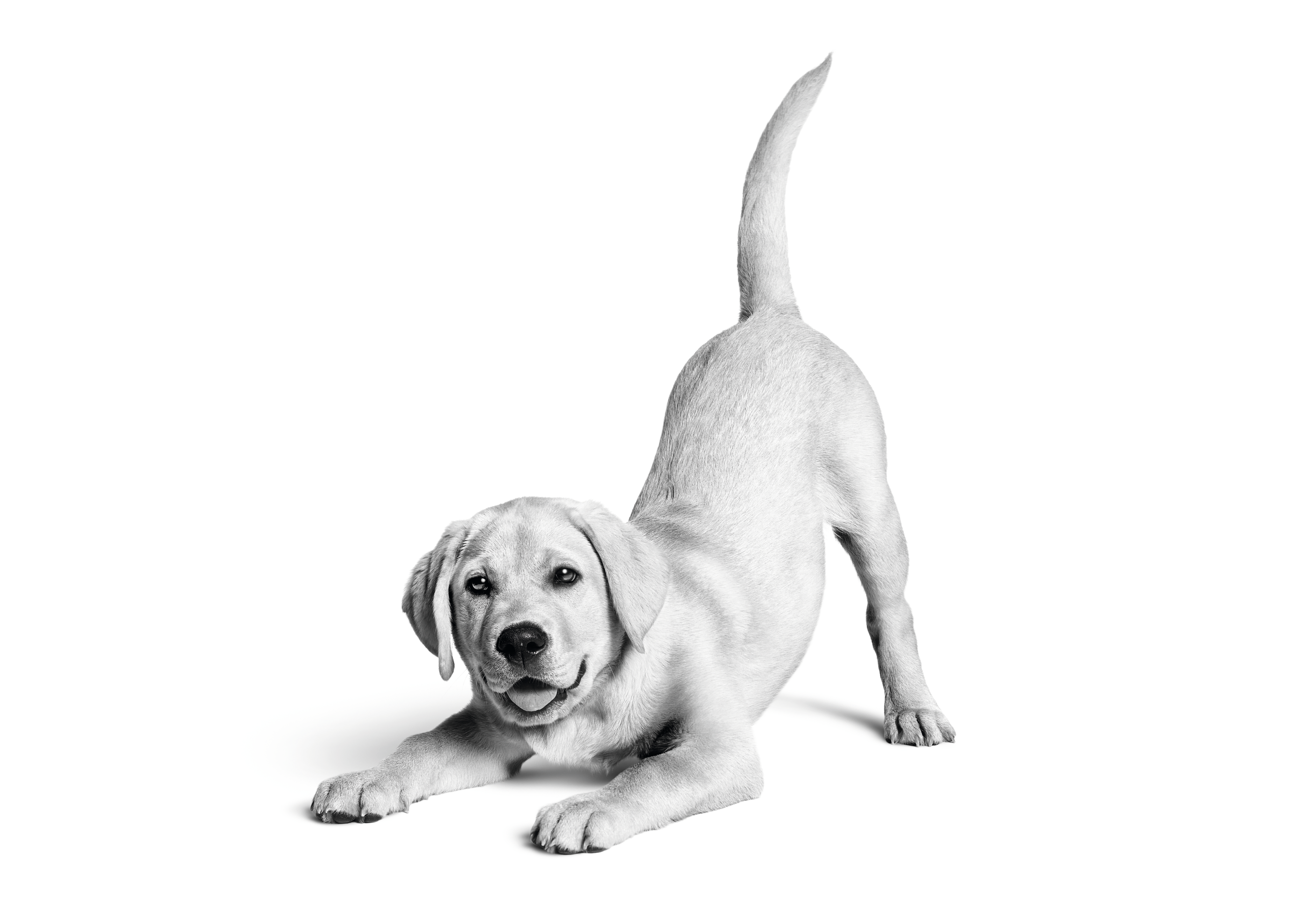 Labrador Retriever Dog Breed Specifics And Facts