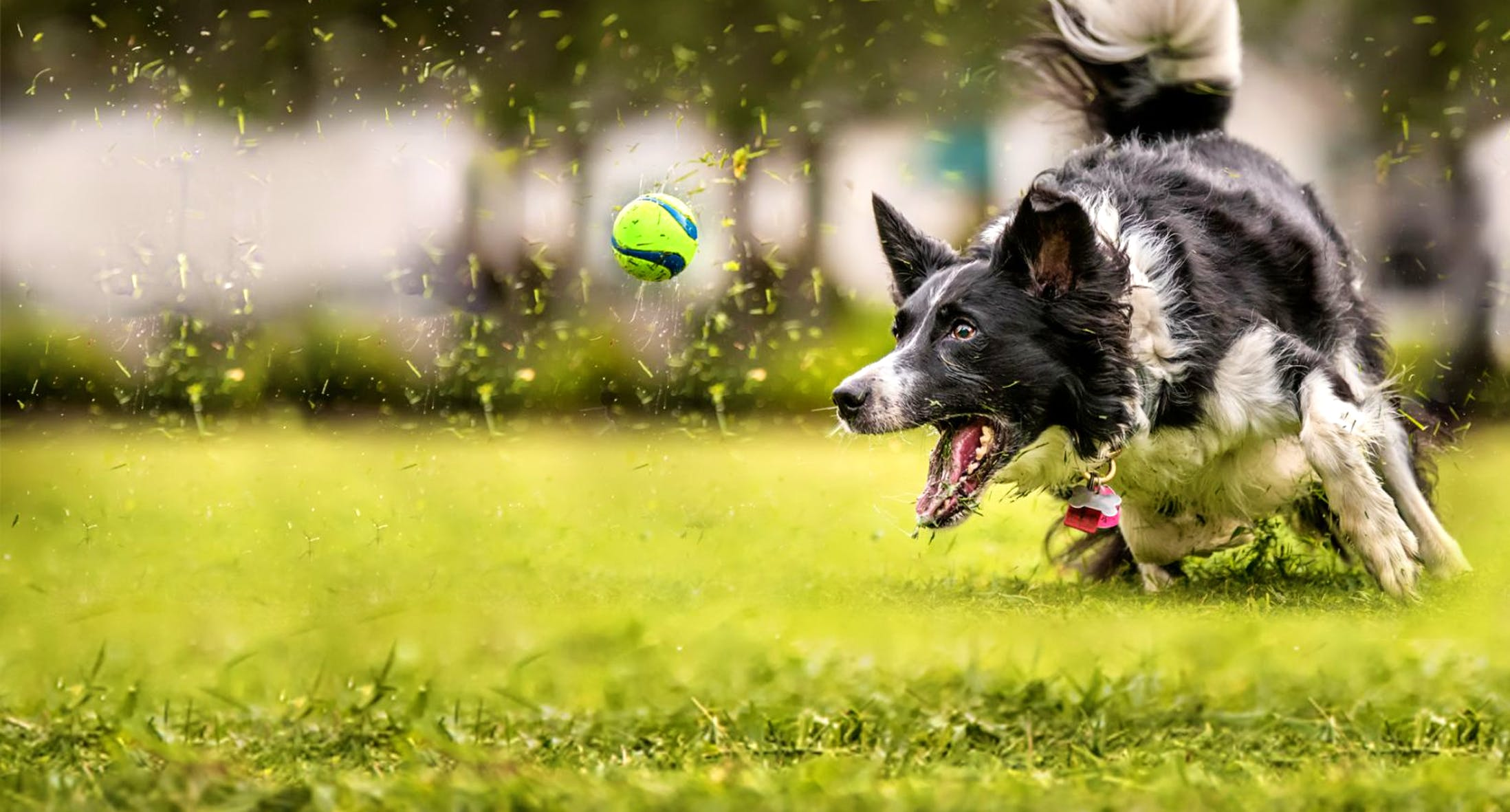 Black and white Border Collie chasing a ball