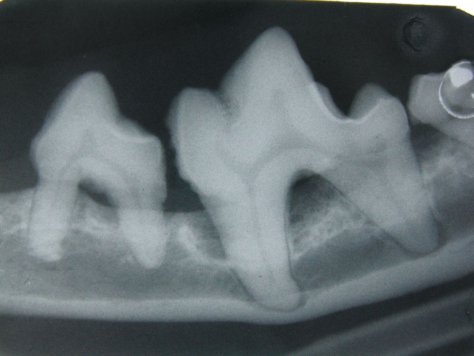 . Intra-oral radiographs are essential when assessing dogs and cats with possible periodontitis. Note the loss of alveolar bone around the affected teeth.