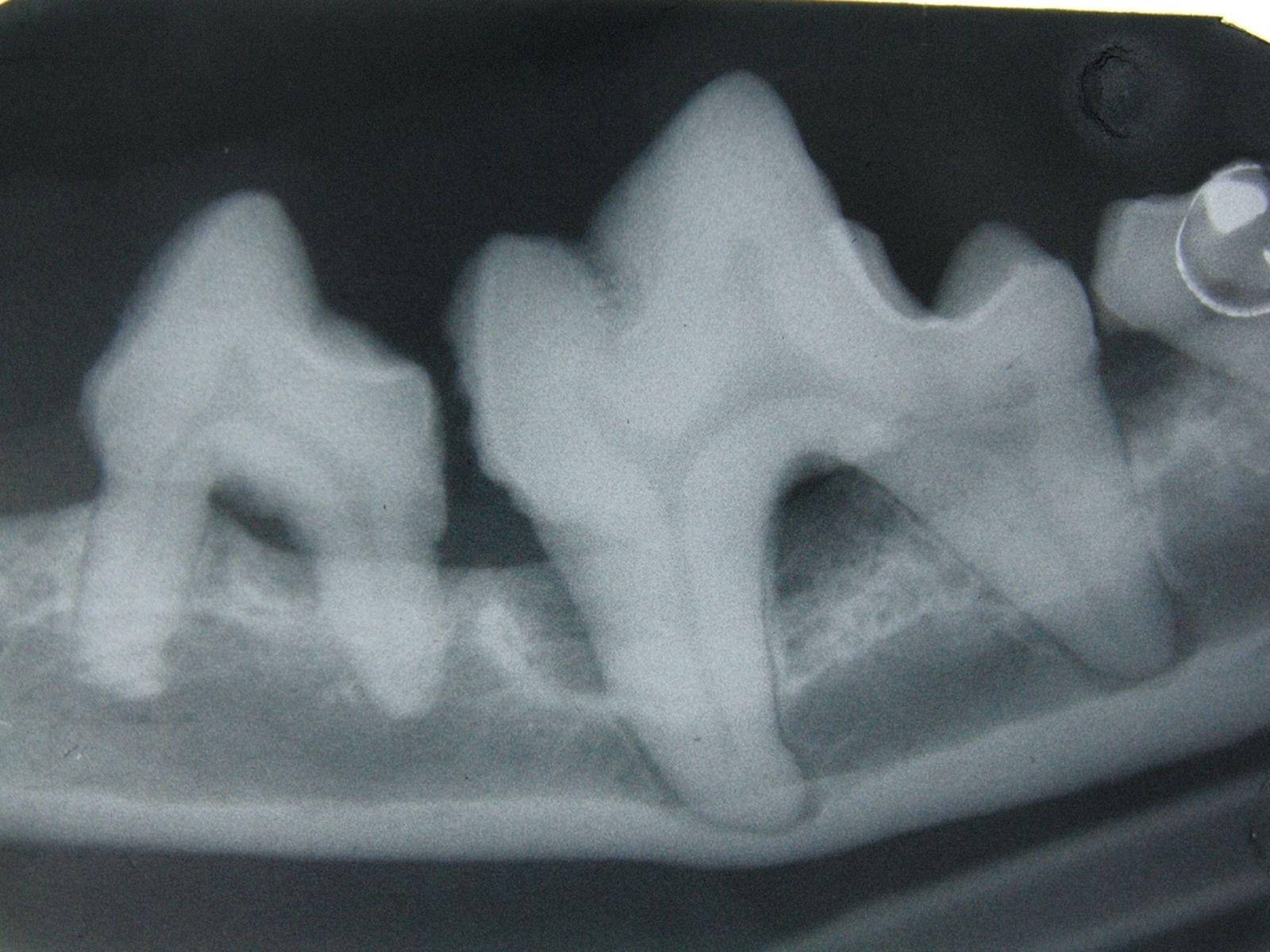 Les radiographies intra-orales sont essentielles pour évaluer une éventuelle parodontite chez le chien et le chat. Notez la perte d'os alvéolaire autour de la dent touchée.