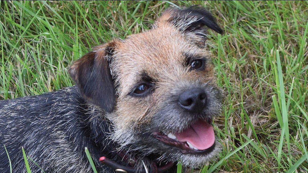 Discinesia parossistica sensibile al glutine nel Border terrier