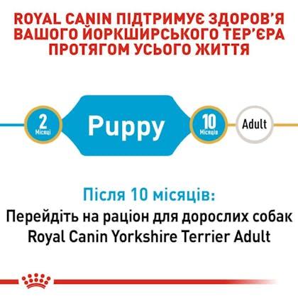 RC-BHN-PuppyYorkshire_2-UA.jpg