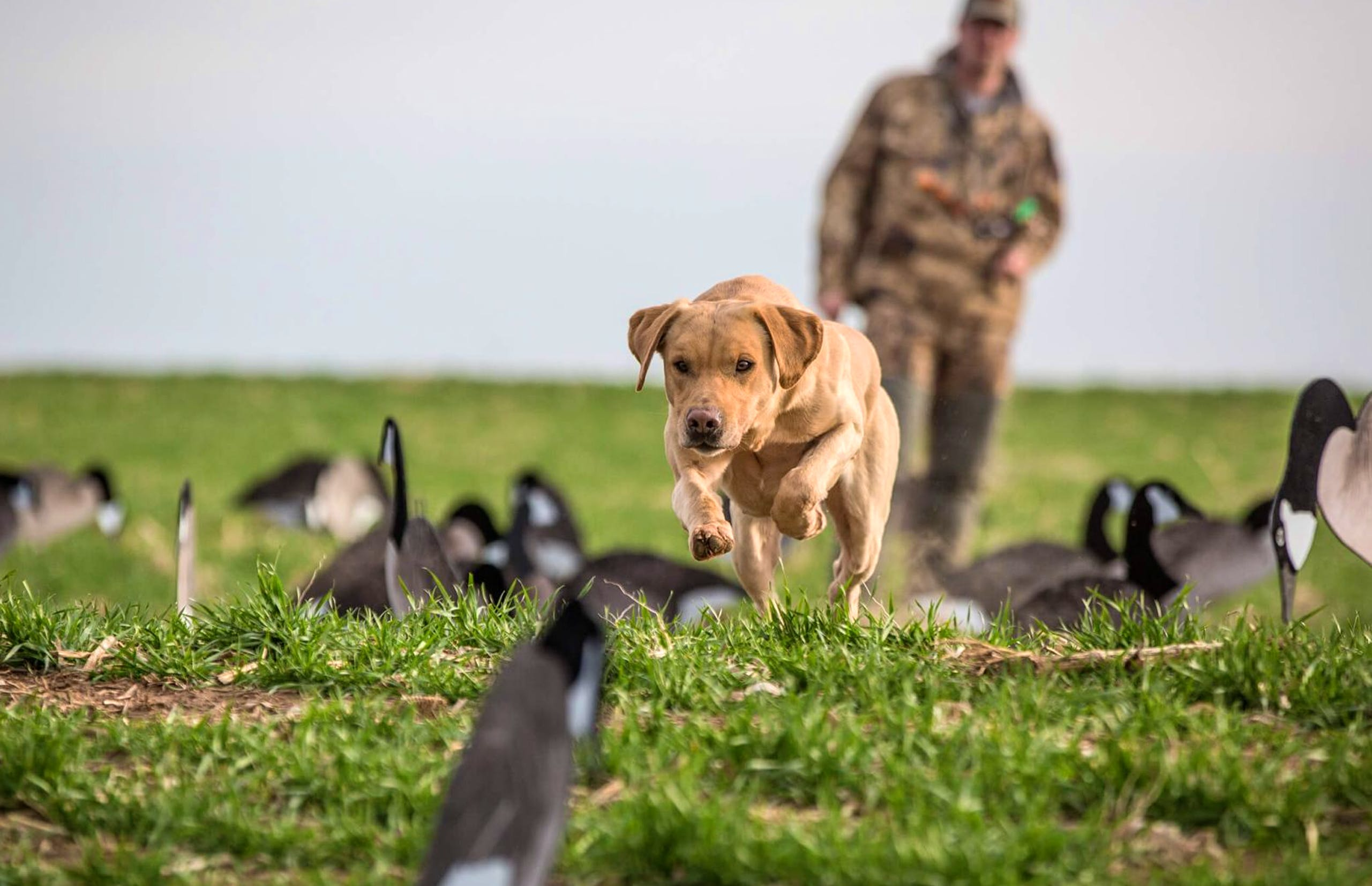 Yellow Lab running through field of decoys