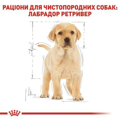 RC-BHN-PuppyLabradorRetriever_5-UA.jpg