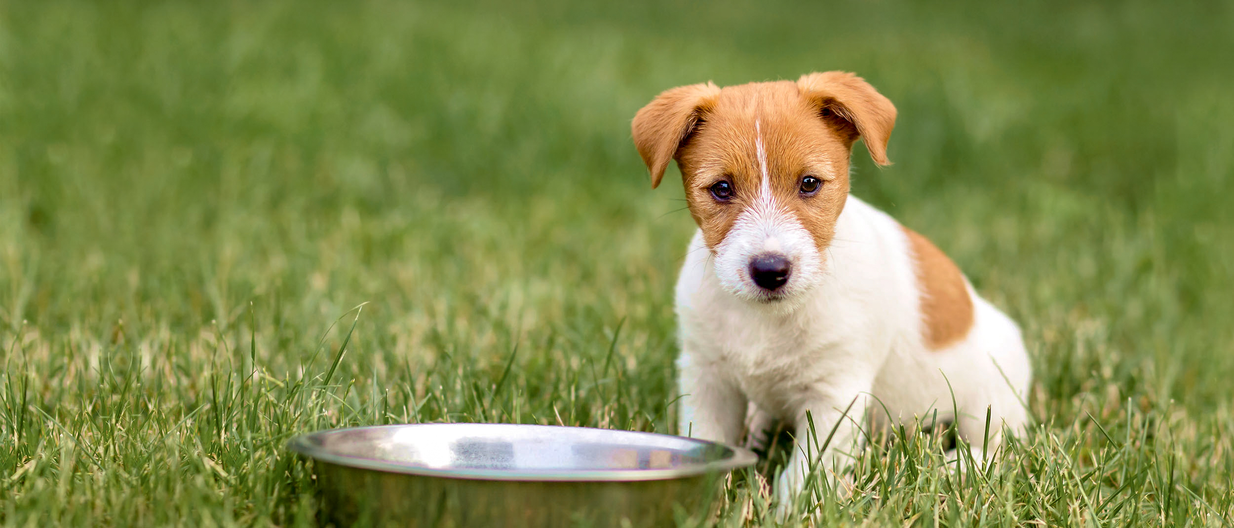 Puppy Jack Russell sitting outside in grass by a large silver bowl.