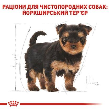 RC-BHN-PuppyYorkshire_5-UA.jpg