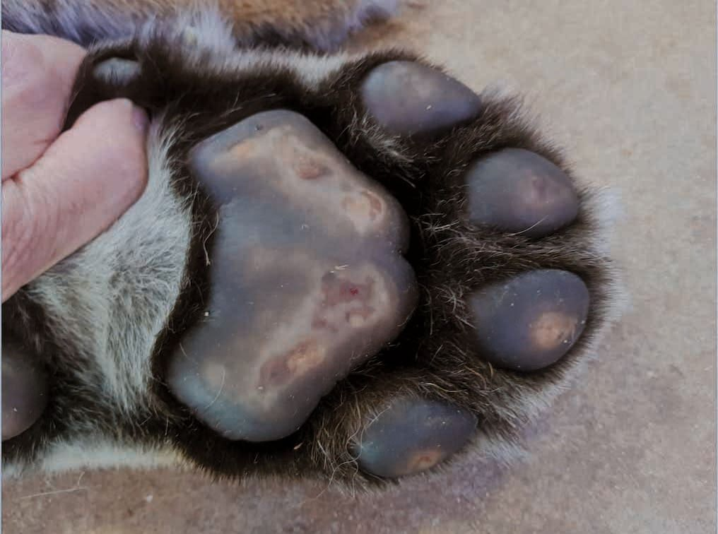 Plasma cell pododermatitis can affect felines other than the domestic cat! This image is from a captive tiger