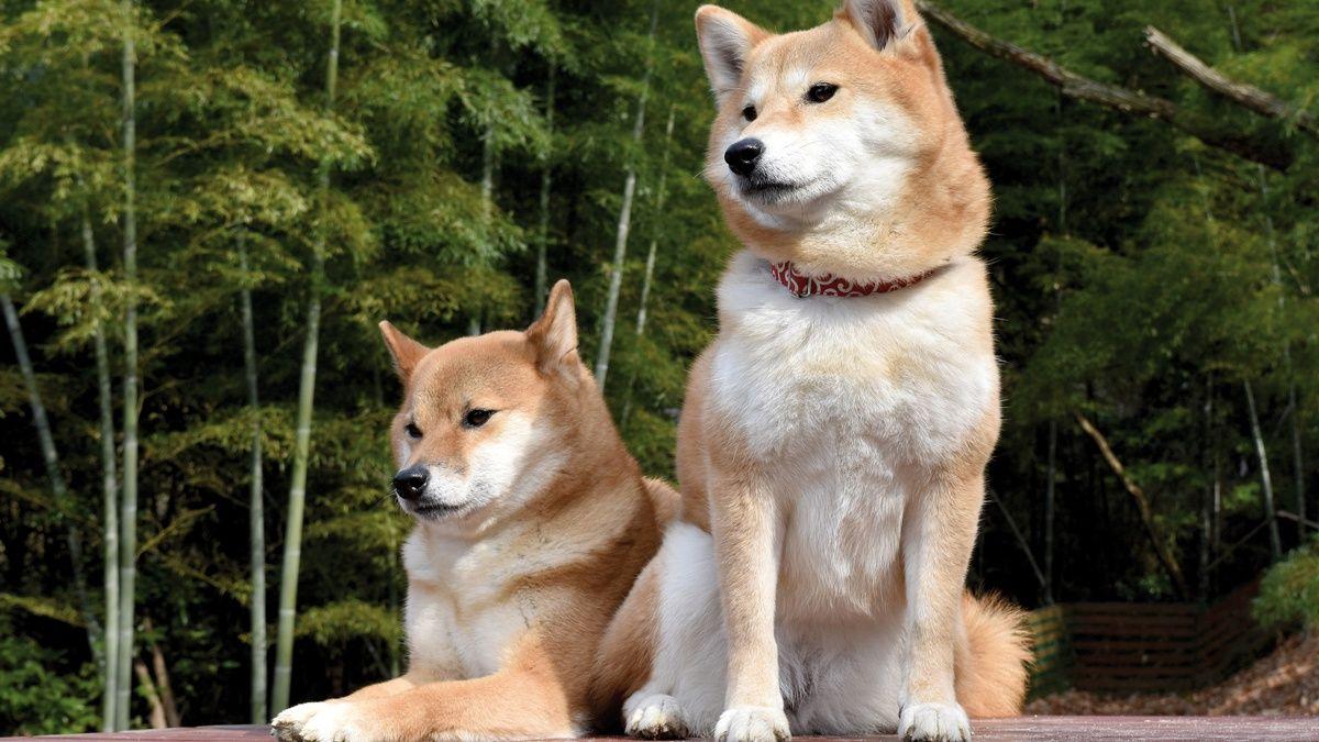 Races canines et affections liées à l'alimentation
