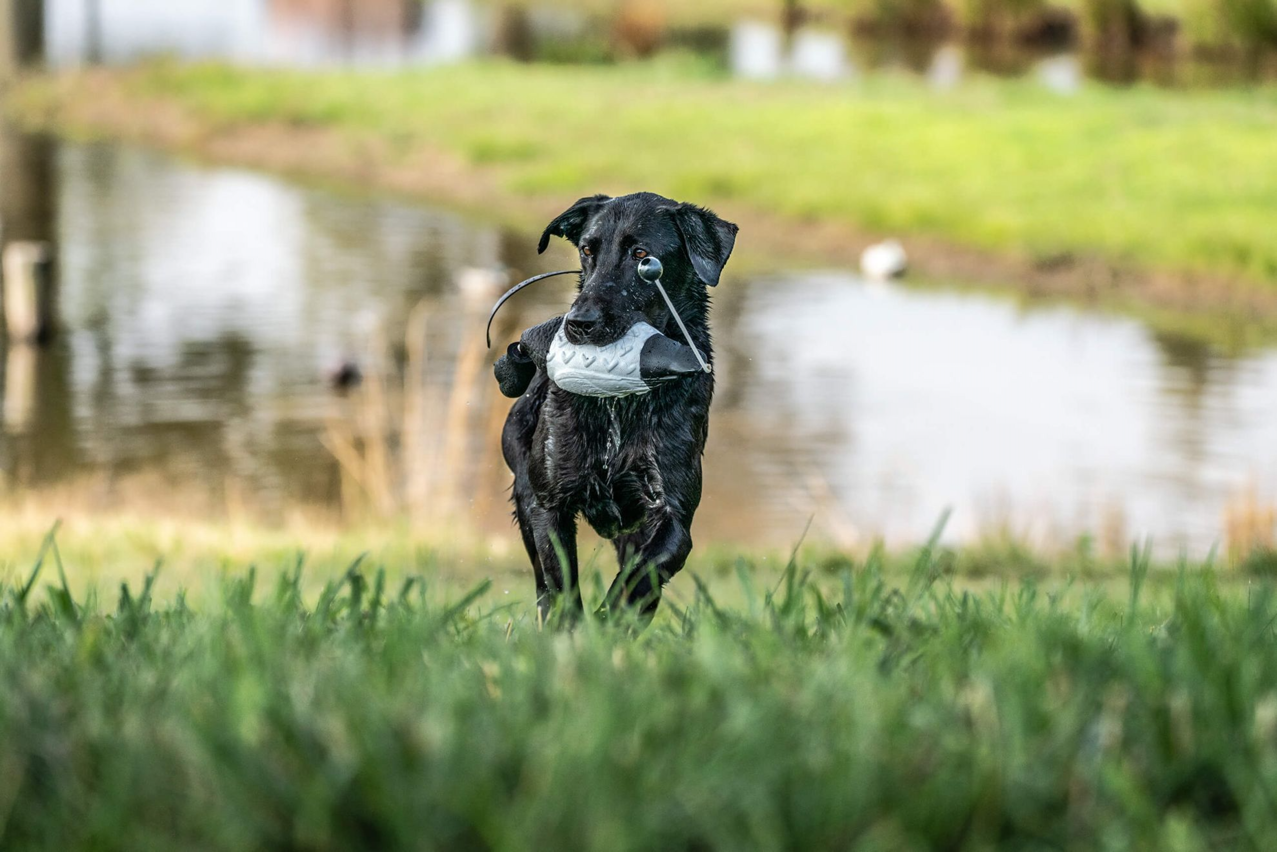 A black Lab retrieves a bumper from a pond during a training drill