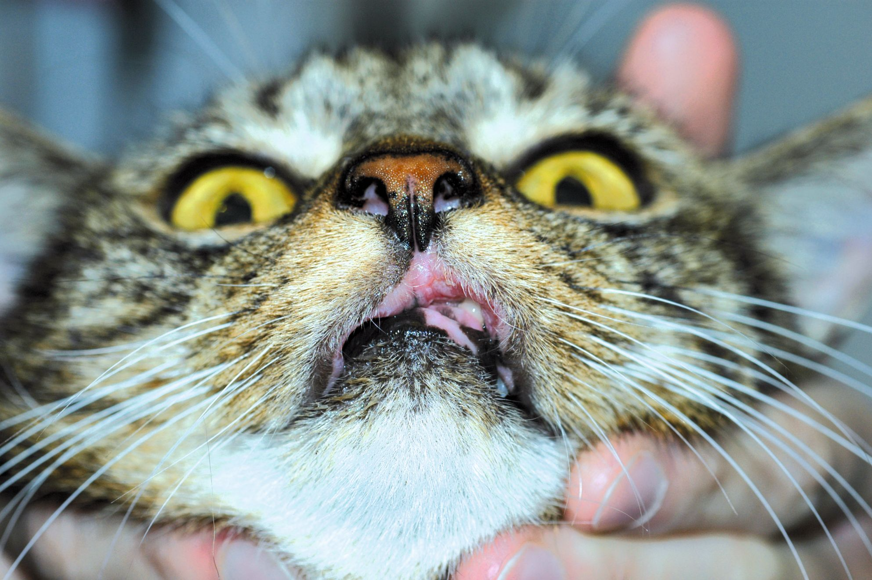 A cat with an indolent ulcer in partial remission; erosions remain on the upper left lip and tissue loss of the upper lip is permanent.