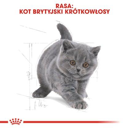 RC-FBN-KittenBritishShorthair-CV5_001_POLAND-POLISH