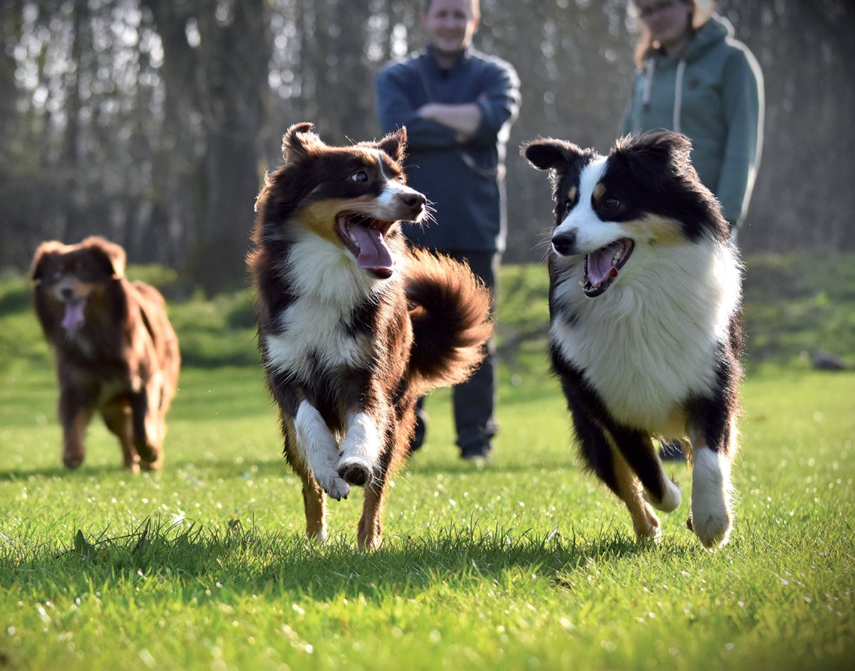 Being able to enjoy watching dogs running off-leash is an important part of the dog walking experience for owners.