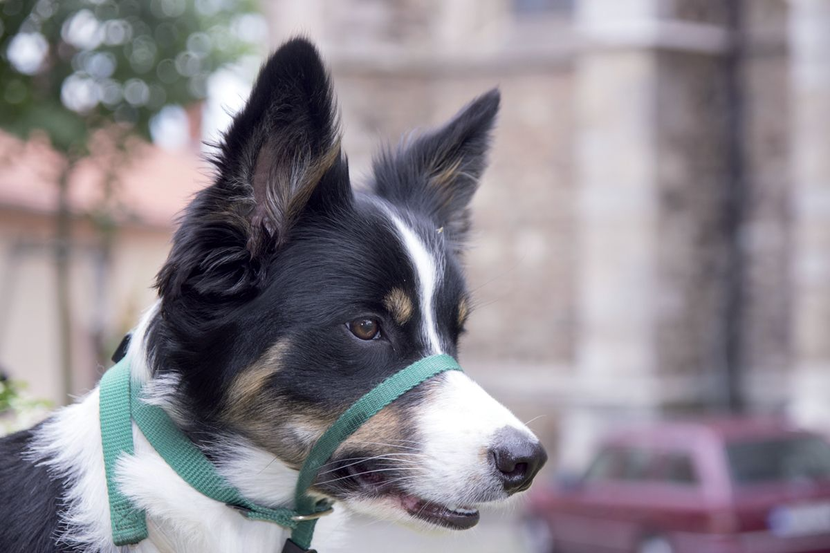 A headcollar that fits onto the dog's muzzle can be invaluable for training purposes.