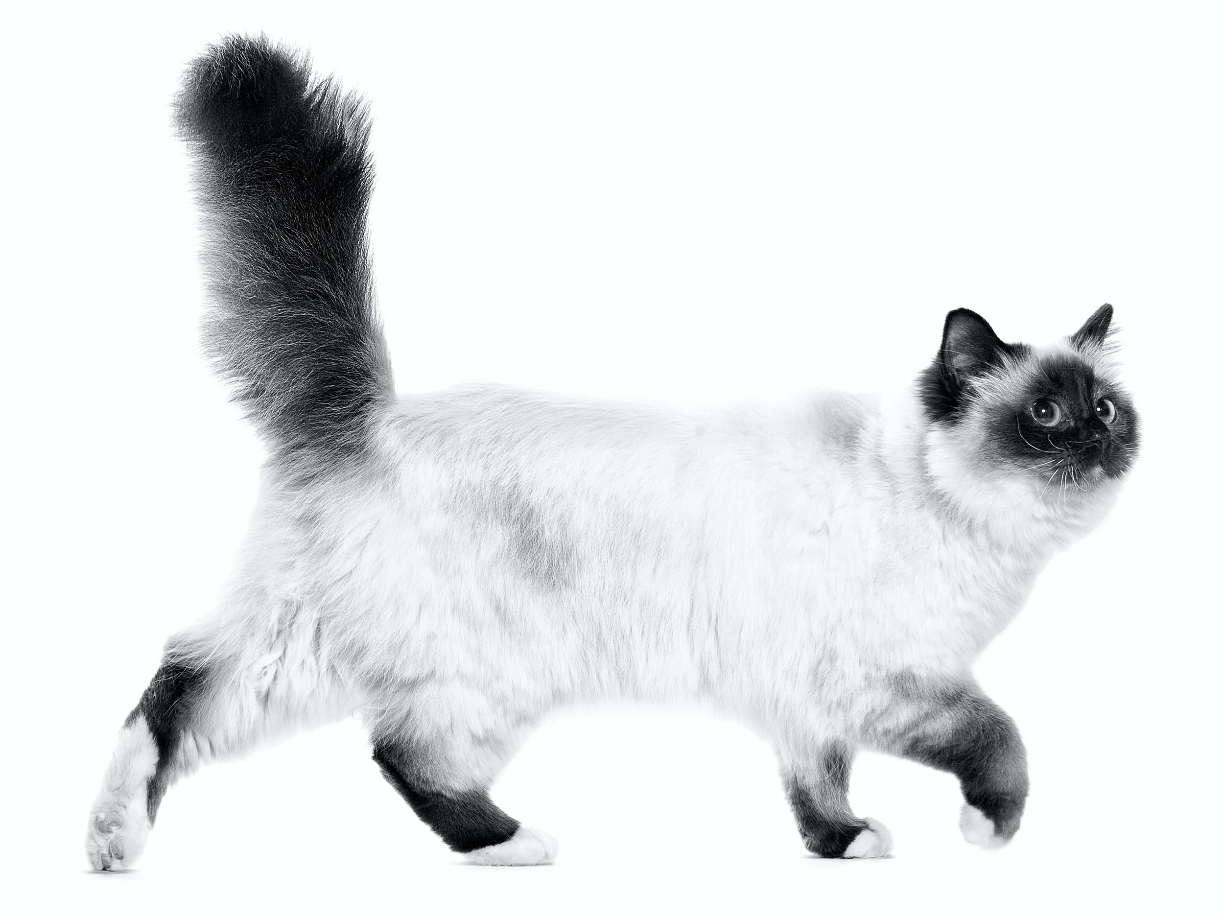 Image result for Birman Cat Breed