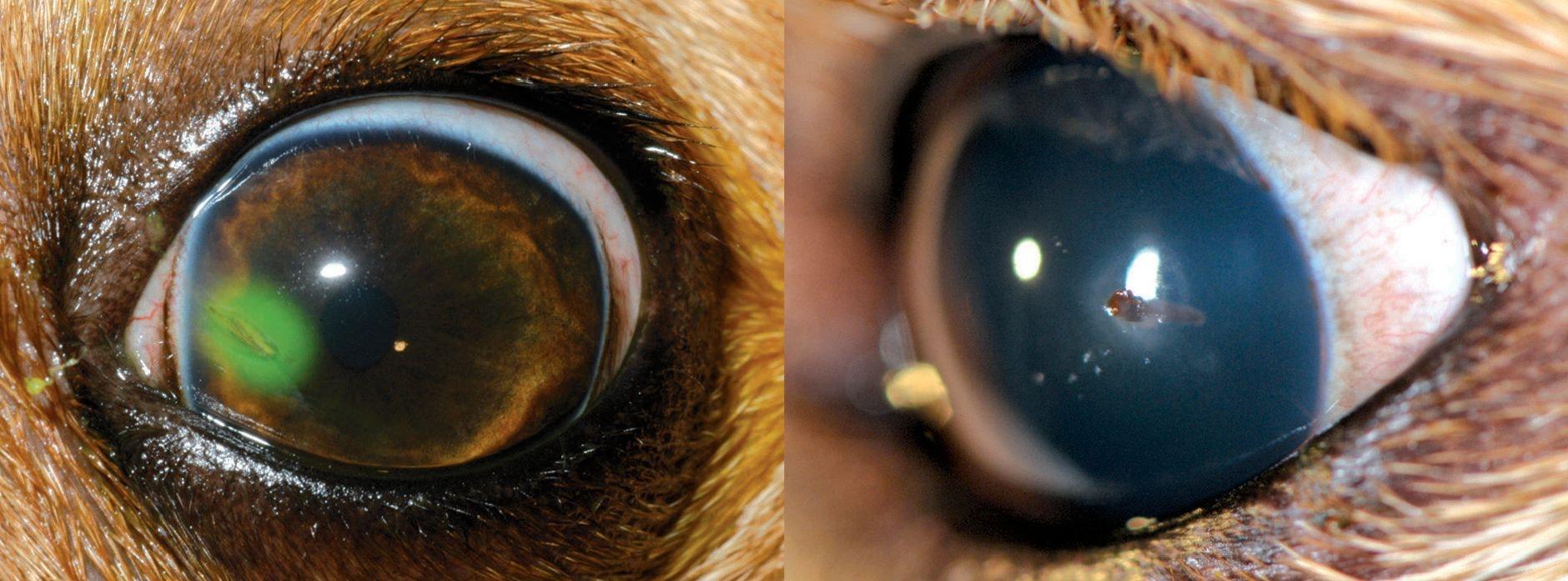 Le emergenze oculari canine