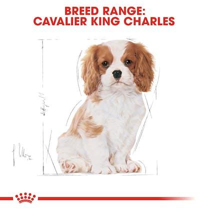 BHN-PuppyCavalierKingCharles-CV-EretailKit-4