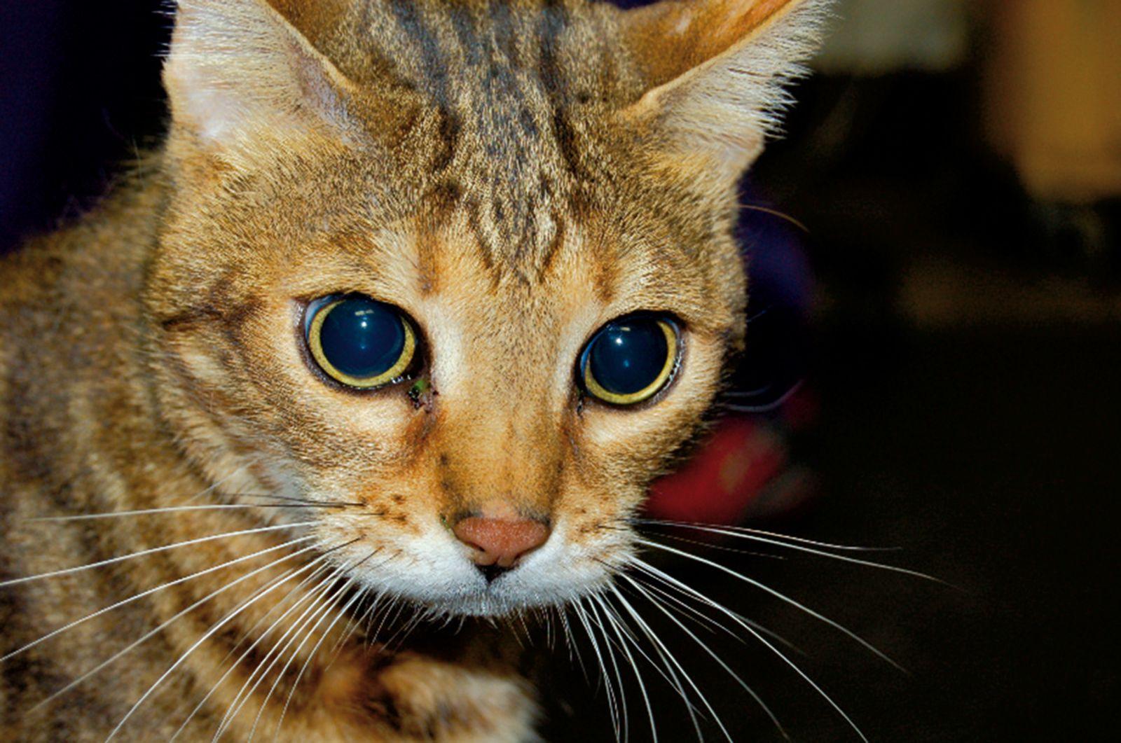 Beidseitige Mydriasis bei einer Katze. Dieser Befund ist ein möglicher Hinweis auf eine hochgradige Hirnschädigung nach Schädeltrauma. In diesem Fall handelte es sich jedoch um die Folge einer beidseitigen Netzhautschädigung infolge eines Traumas, das vermutet wurde, da die Katze ein normales Bewusstseinslevel hatte.