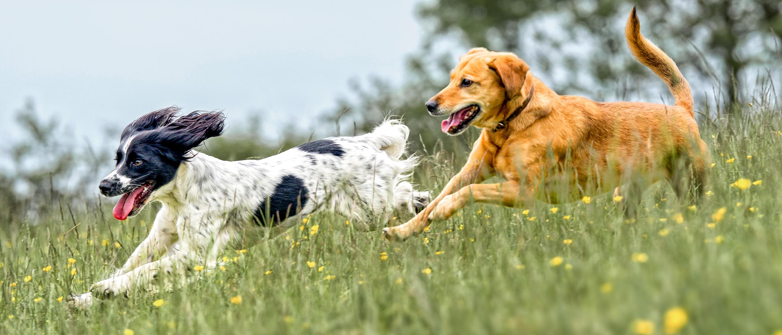 diabete dimagrante nei cani
