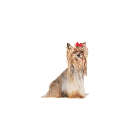 YORKSHIRE TERRIER 8+-EMBLEMATIC-BACK-BHN20