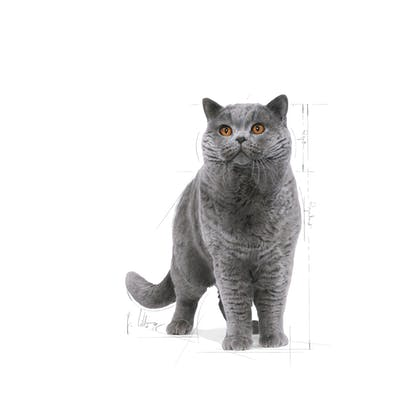 FBN2016_BRITISH SHORTHAIR_FACING