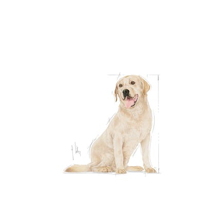 LABRADOR RETRIEVER 5+ EMBLEMATIC-FACING-BHN20