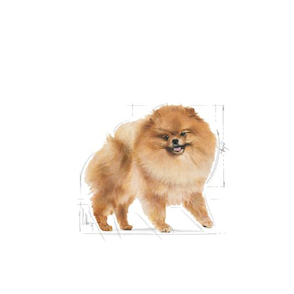 POMERANIAN ADULT-EMBLEMATIC-FACING-BHN20